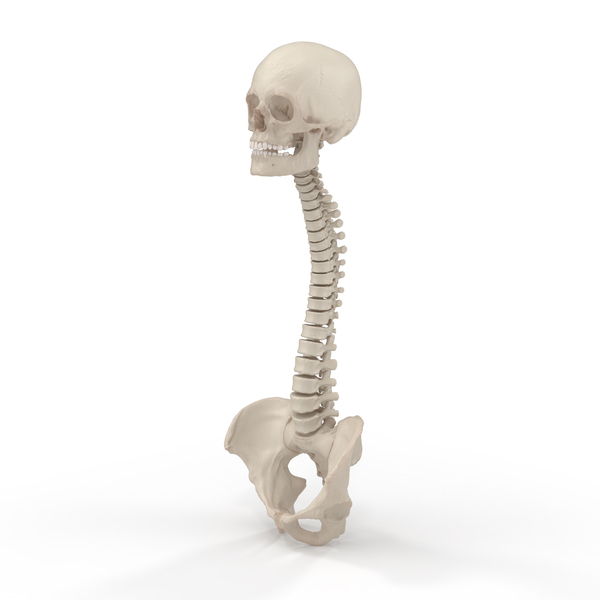 Spine with Pelvis and Skull Object