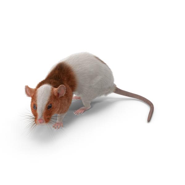 Rat Object